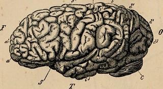 dessin d'un cerveau à la maniere d'une plance anatomique